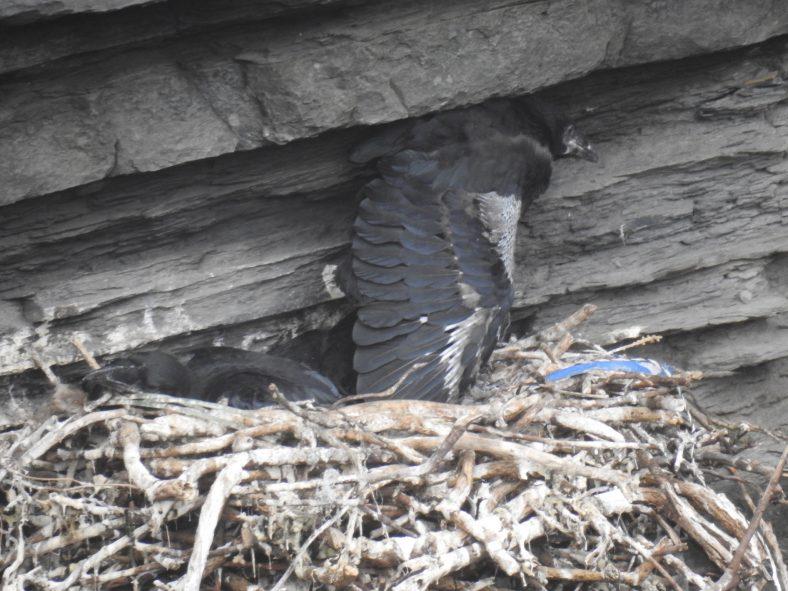 Ravens nest | Robert Brown