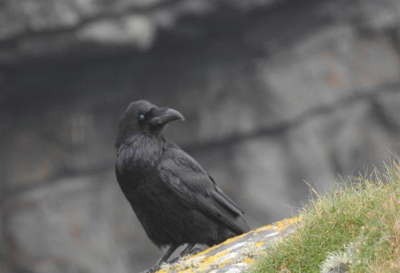Ravens on Loop Head