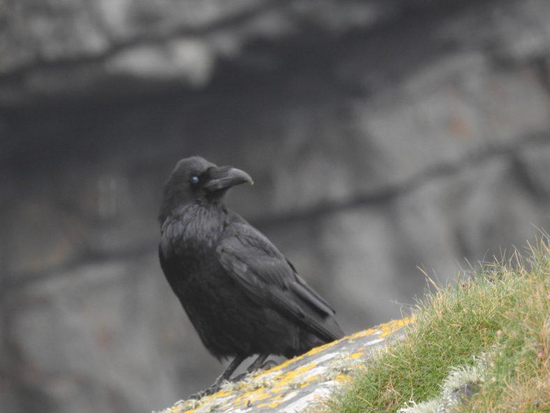 Raven | Robert Brown